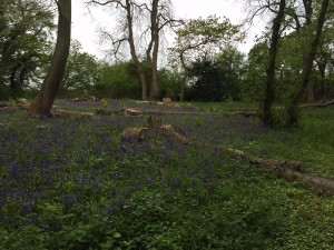 Bluebells in Lydebrook area cleared for deer cull winter 201415