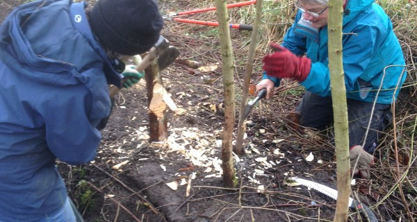 Hedge laying at Oilhouse Coppice