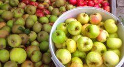 apple-day