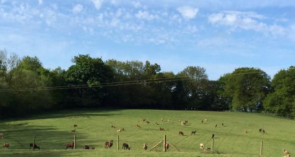 Crackshall sheep